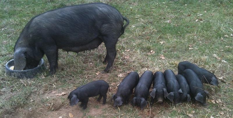 Old Oak Farm Large Black Hogs